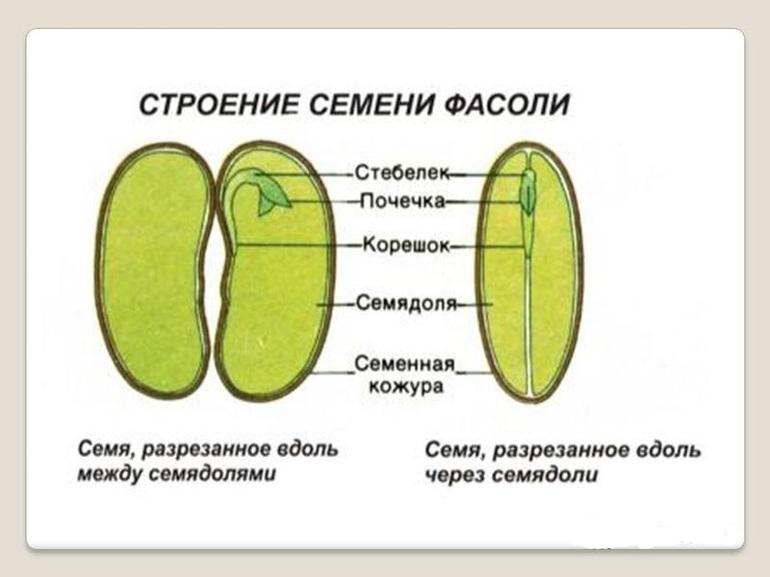 какие особенности строения семян и плодов
