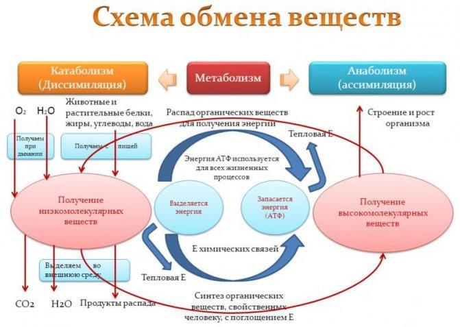 Метаболизм в биологии: определение обмена, виды, этапы и..