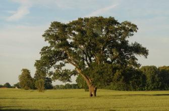 Болконский и дуб описание