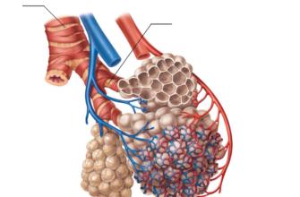 Дыхательная система млекопитающих