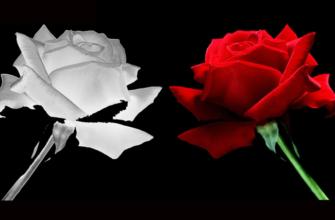 История белой розы