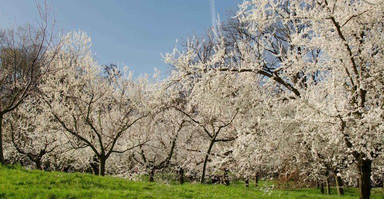 Образ вишневого сада в пьесе вишневый сад