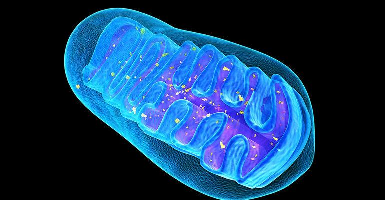 Органоид митохондрия