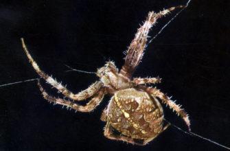 Тело паукообразных