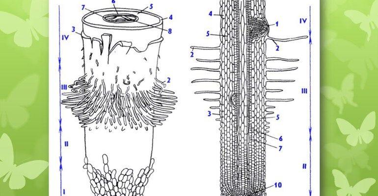 Зоны корневой системы