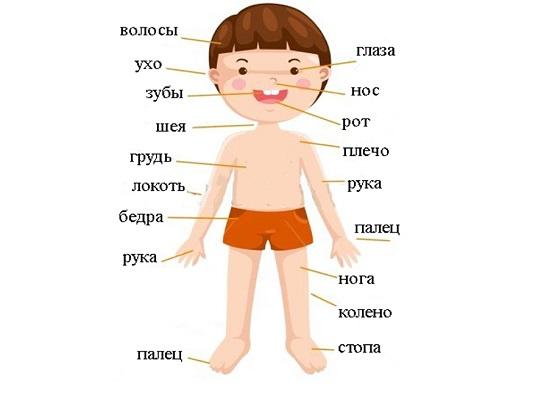 Загадки про части тела для детей с ответами