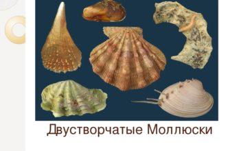 Двустворчатые моллюски (биология 7 класс)