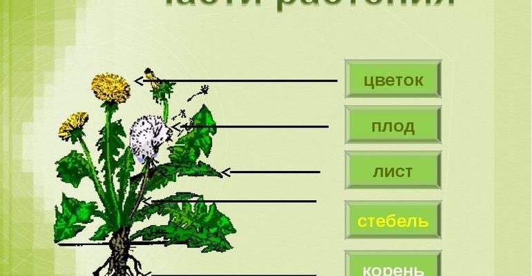Из каких частей сосотоят растения