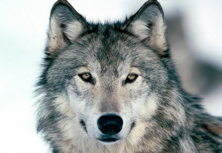 Стихи про волков