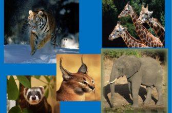 Кровеносная система млекопитающих