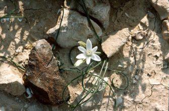 Неизвестный цветок андрей платонов