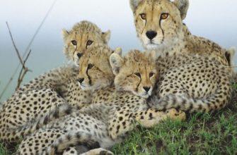 Окружающий мир Гепарды