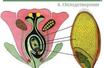 Оплодотворение у растений