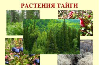Растения тайги