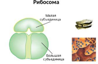 Рибосомы строение функции синтез (биология 9 класс)