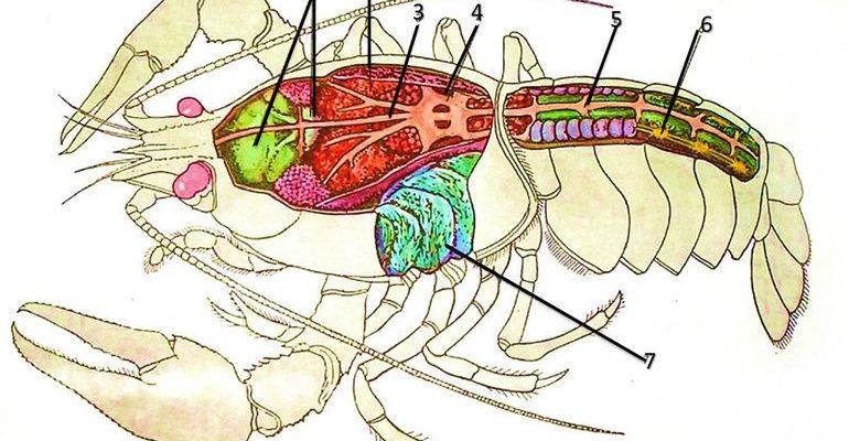 Строение речного рака