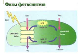В световой фазе фотосинтеза не происходит