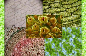 Виды тканей растений