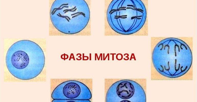 Фазы деления в митозе