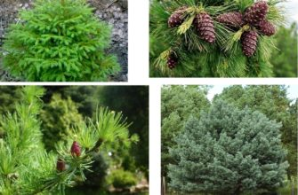 Голосеменные растения в природе