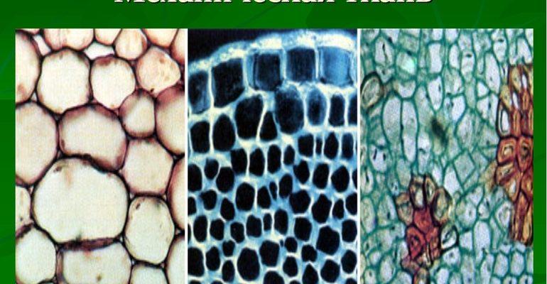 Механическая ткань растений