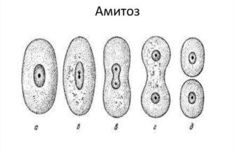 Особенности и значение амитоза