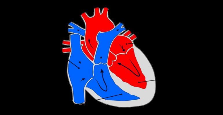 Сердце млекопитающих