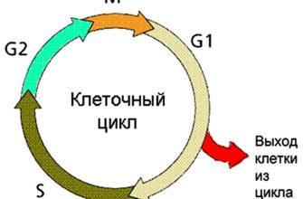 Что такое жизненный цикл клетки