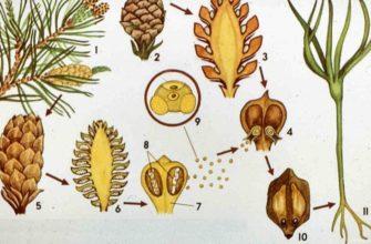 Жизненный цикл голосеменных растений