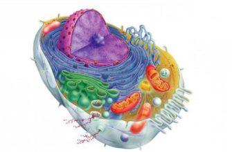 Клеточную теорию сформулировали шлейден