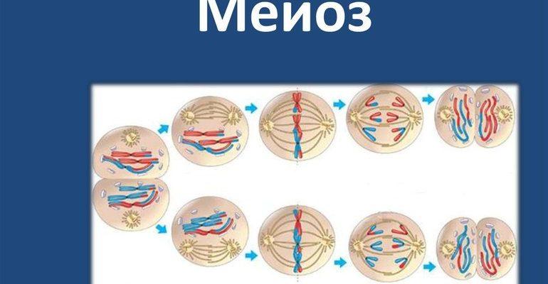 Мейоз клетки