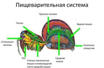 Пищеварительная система у паукообразных