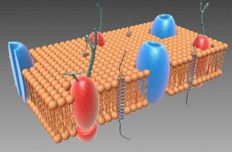 Строение клеточной мембраны